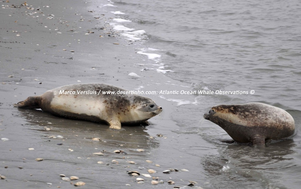 Desertinho Atlantic whale observations: Common Seals