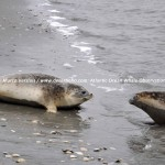 Desertinho Atlantic Whale observations: Common seal