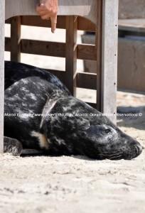 Gray seal, Grijze zeehond