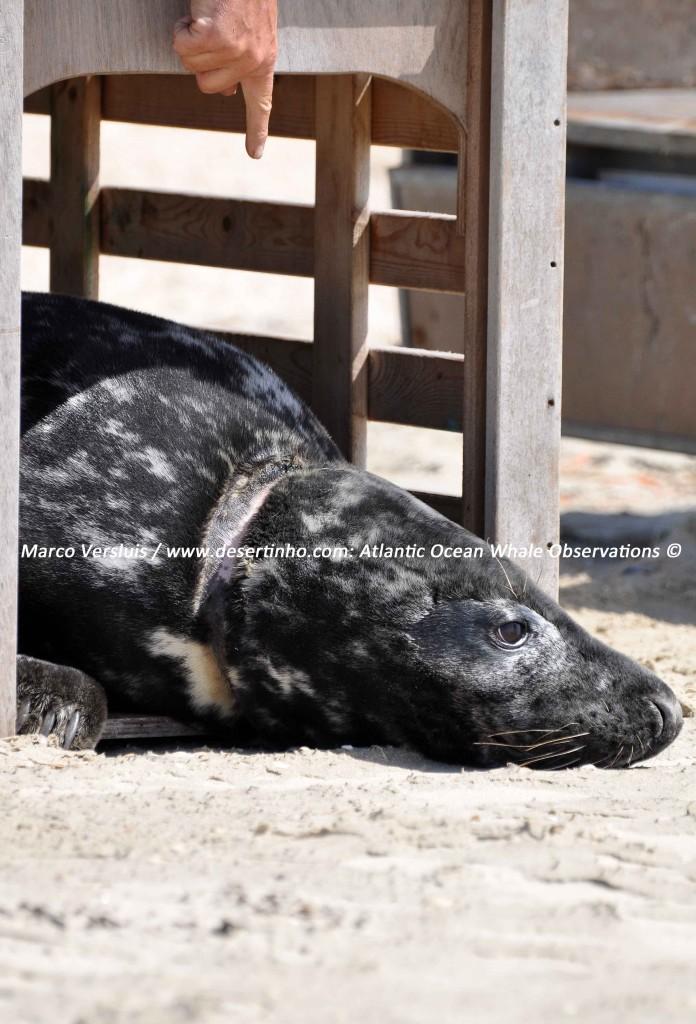 Desertinho Atlantic Whale observations: Gray seal fish net