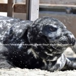 Desertinho Atlantic Whale observations: Gray seal