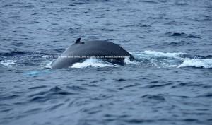 1Copyright-Marco-Versluis-Humpback-Whale_7252