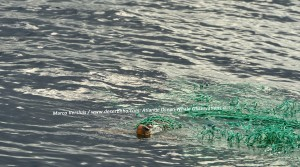 1Copyright-Marco-Versluis-Loggerhead-Sea-Turtle-4703