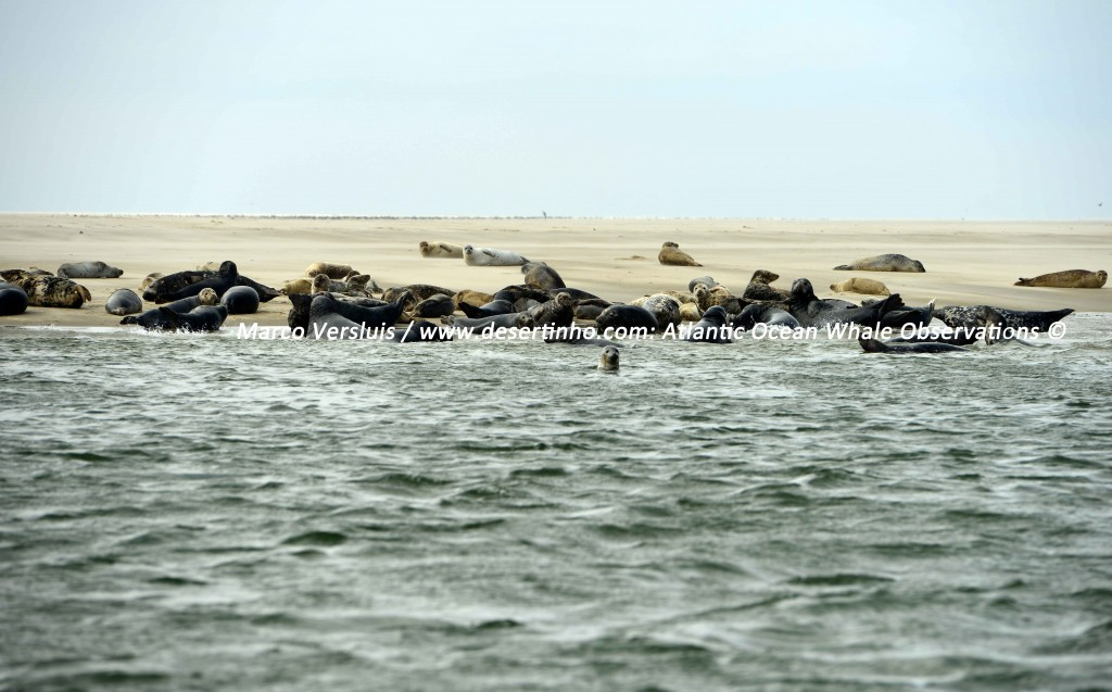 Desertinho Atlantic Whale observations: Seals