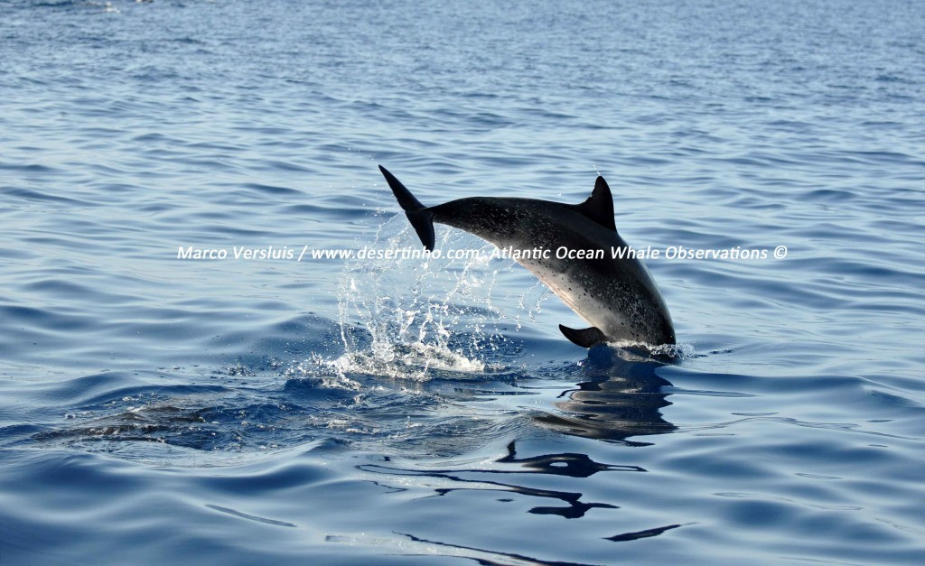 Desertinho Atlantic Whale observations: Atlantic spotted dolphin