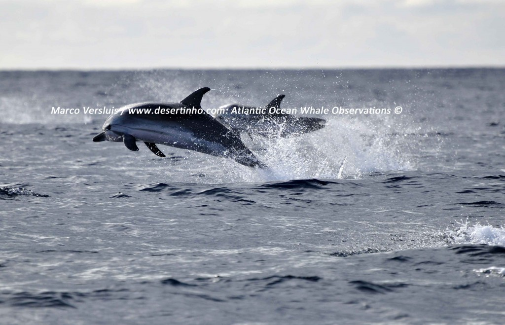 Desertinho Atlantic whale observations: Atlantic striped dolphin