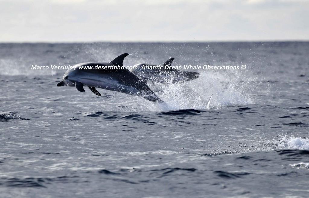 1Copyright-Marco-Versluis-Striped-Dolphin-1104