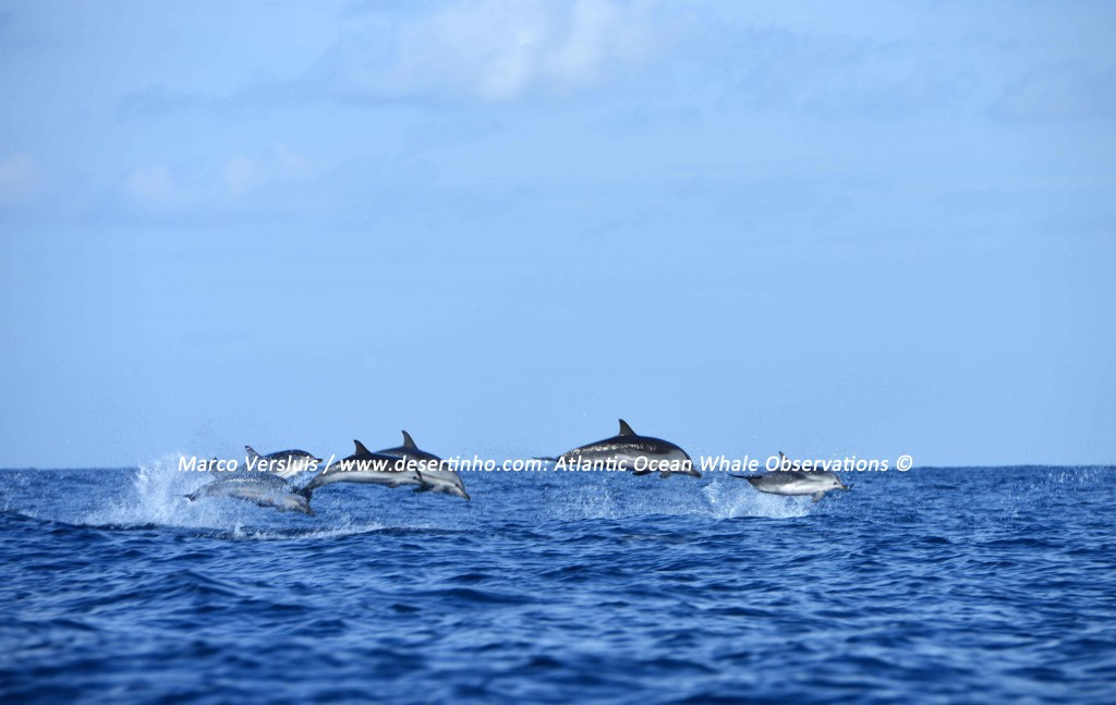 Desertinho Atlantic whale observations: Atlantic striped dolphins