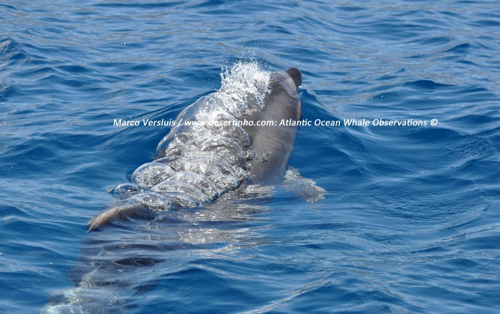Desertinho Atlantic Whale observations: Atlantic bottlenose dolphin