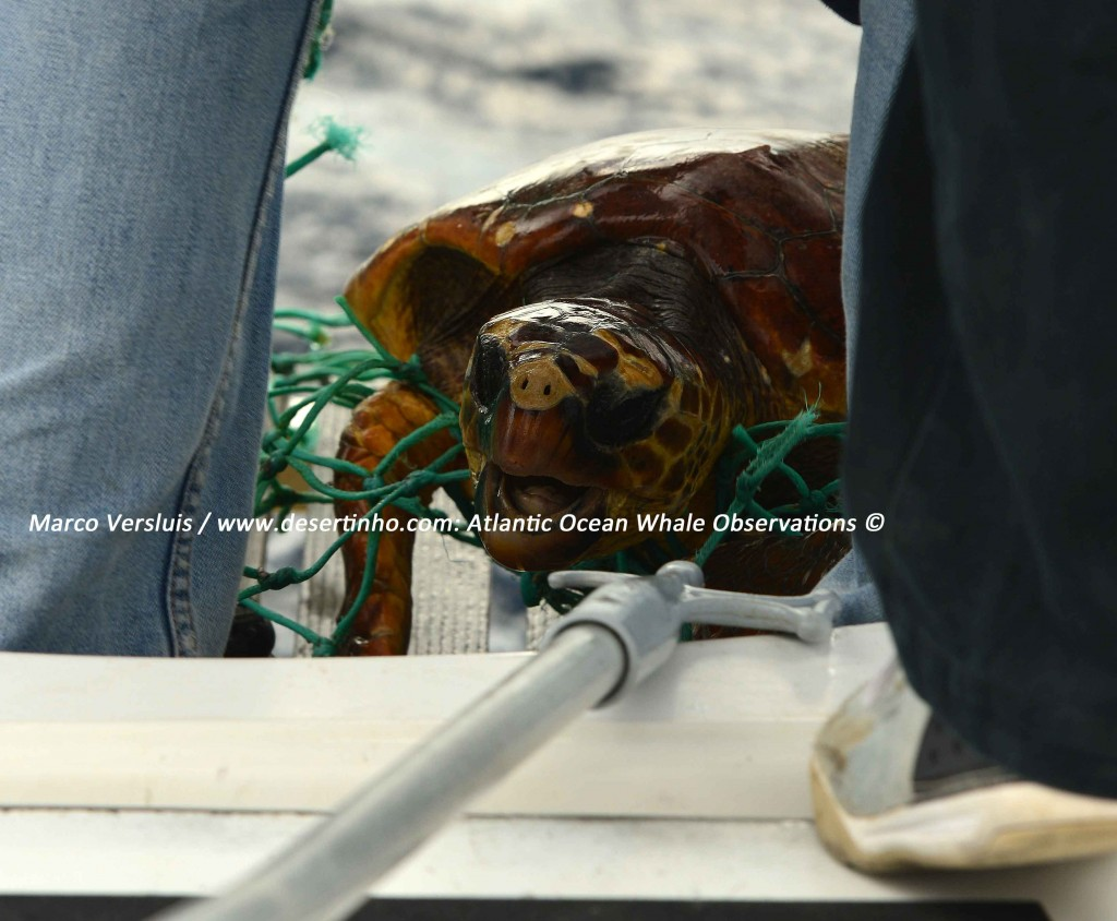 Desertinho Atlantic whale observations: Loggerhead sea turtle recue from Cargo net