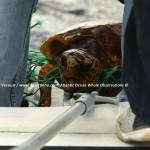 Desertinho Atlantic Whale observations: Loggerhead sea turtle