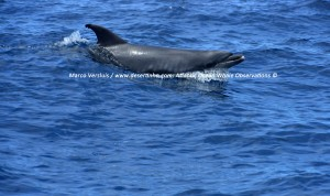 1Copyright-Marco-Versluis_Bottlenose-dolphin_7492