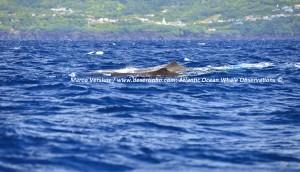 Sperm whales, Potvissen
