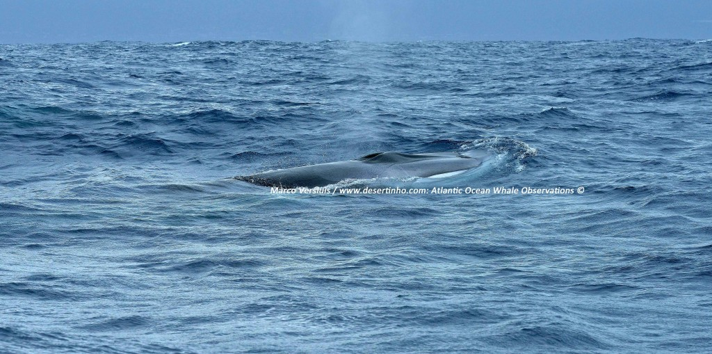 Desertinho Atlantic whale observations: Fin whale