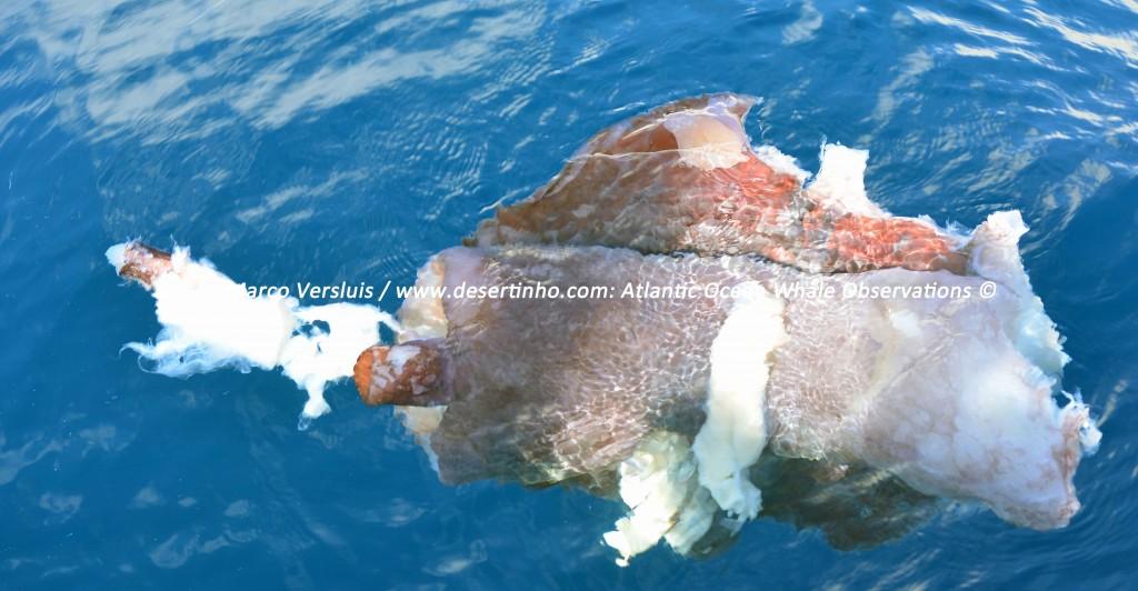 Desertinho Atlantic whale observations: Giant squid