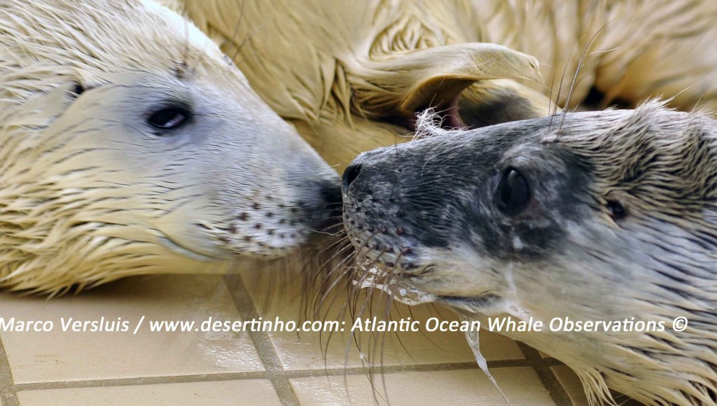Desertinho Atlantic Whale observations: Gray seal pups
