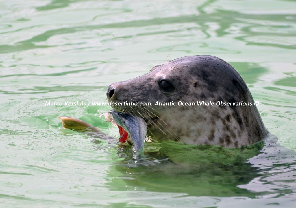 Desertinho Atlantic Whale observations: Gray seal