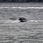 Sperm whale, Potvis