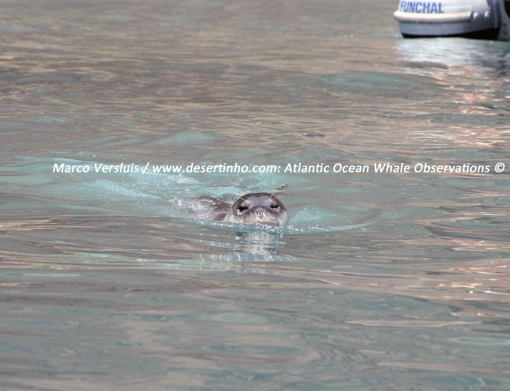 Desertinho Atlantic Whale observations: Mediterranean monk seal