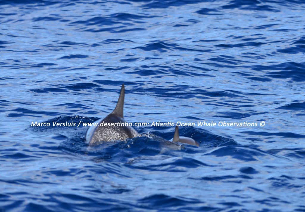 Desertinho Atlantic whale observations: Spotted dolphins