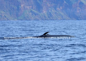 Bryde's whale, Bryde's walvis
