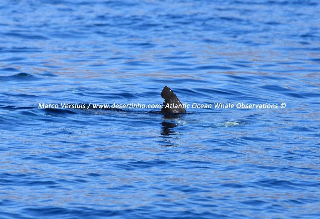 Desertinho Atlantic Whale observations: Common dolphin Photo-ID