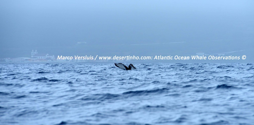 Desertinho Atlantic Whale observations: Humpback whale Photo-ID
