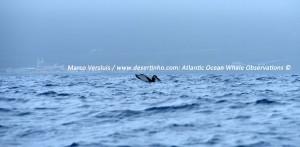 Humpback whale, Bultrug