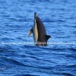 Desertinho Atlantic Whale observations: Common dolphin
