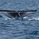 Desertinho Atlantic Whale observations: Blue Whale