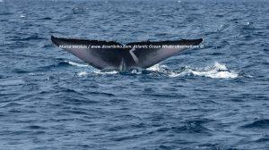Blue Whale, Blauwe vinvis (Desertinho)