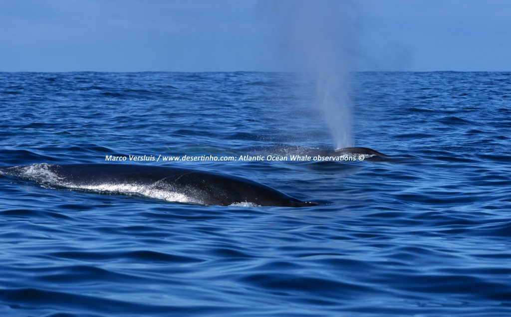 Desertinho Atlantic whale observations: Common Fin whales