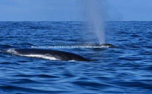 Common Fin whales, gewone Vinvissen