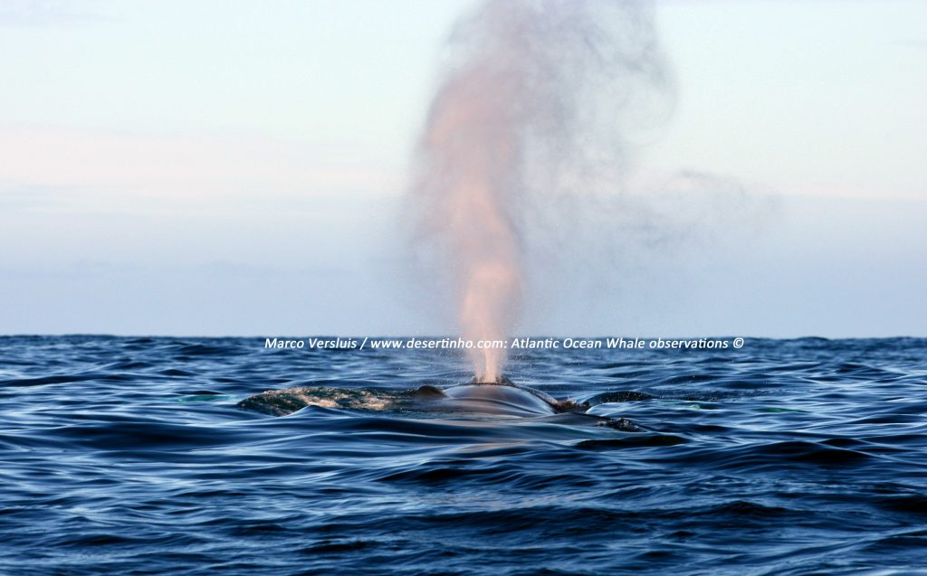 Desertinho Atlantic Whale observations: Common Fin whale