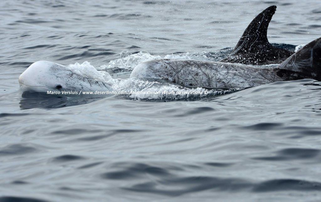 Desertinho Atlantic Whale observations: Risso's Dolphin