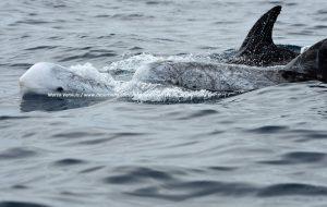 Risso's dolphin, Gray dolphin, Gramper, Grijze dolfijn