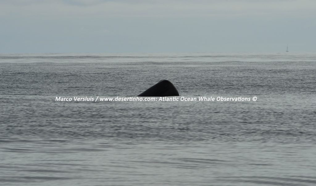 Desertinho Atlantic whale observations: Sperm whales Spy hopping