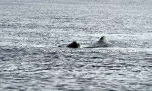 Sperm whale, Potvis (Desertinho)