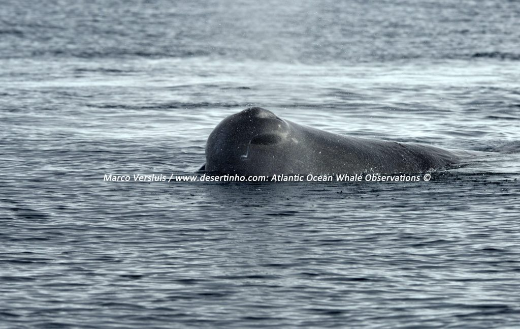 Desertinho Atlantic whale observations: Sperm whale