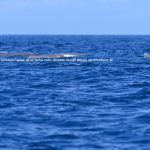 Desertinho Atlantic Whale observations: Whale rescue advice