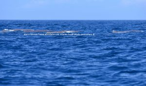 Desertinho Whale rescue advice, Walvis redding advies.