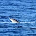 Desertinho Atlantic Whale observations: Spotted dolphin