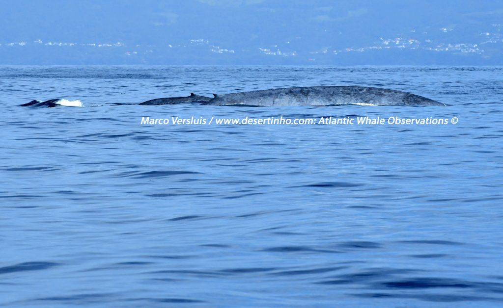 Desertinho Atlantic Whale observations: Blue whales