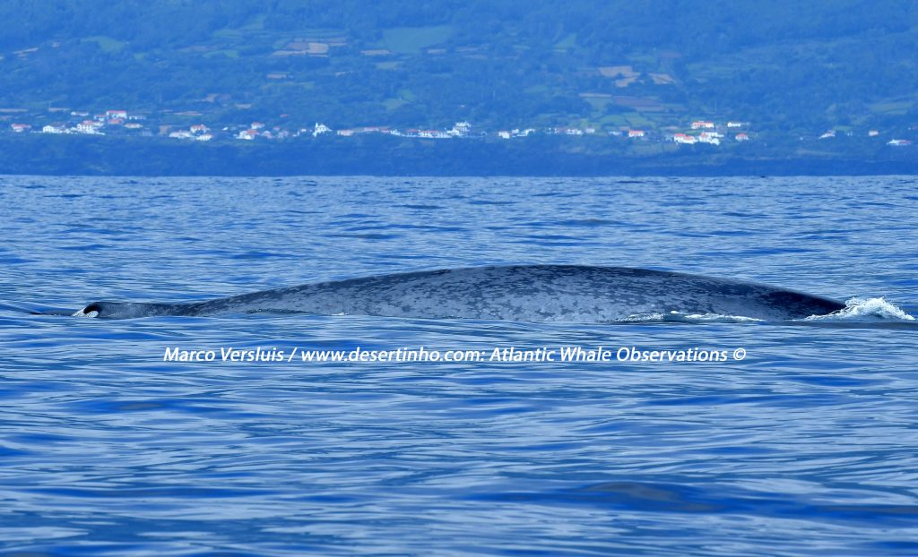 Desertinho Atlantic Whale observations: Blue whale Photo-ID