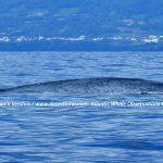Desertinho Atlantic Whale observations: Blue whales