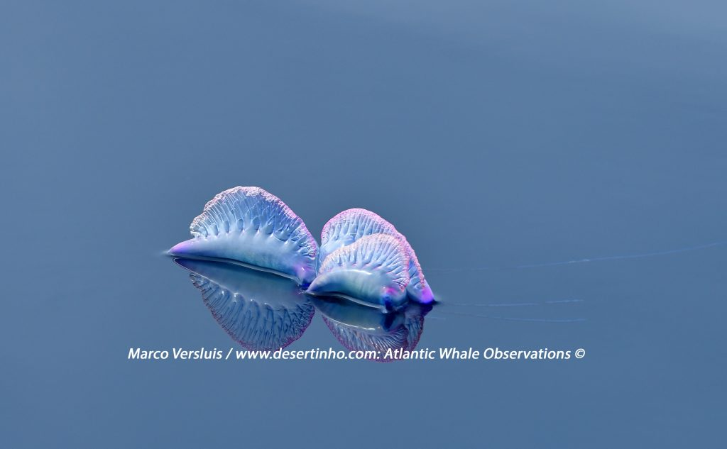 Desertinho Atlantic whale observations: Atlantic Portuguese man o' war