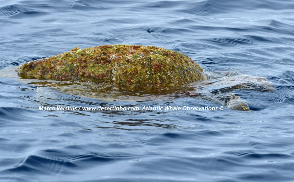 Desertinho Atlantic whale observations: Loggerhead sea turtle