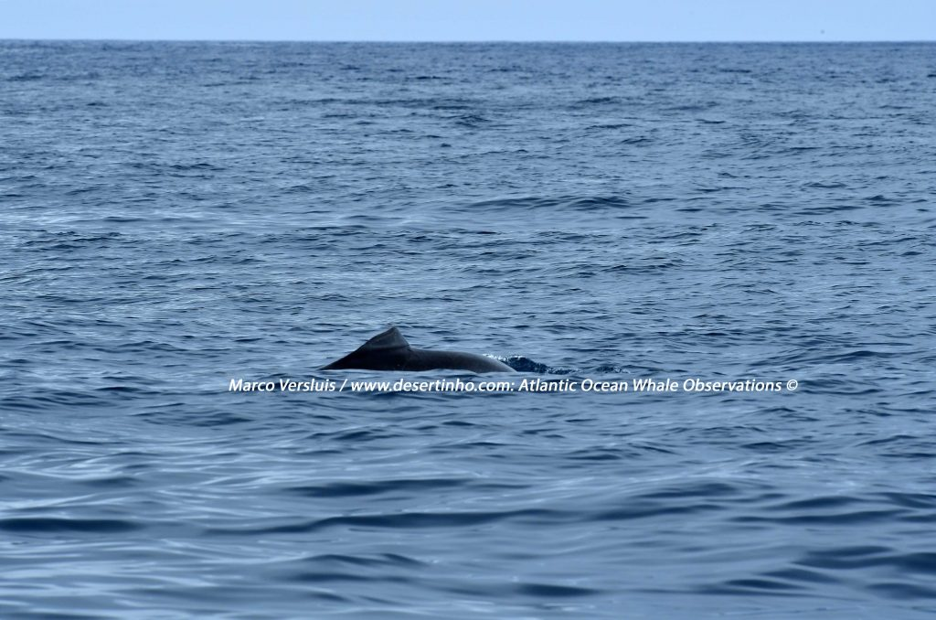 Desertinho Atlantic Whale observations: Atlantic Bottlenose dolphin Photo-ID
