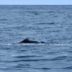 Desertinho Atlantic Whale observations: Atlantic Bottlenose dolphin Photo-ID