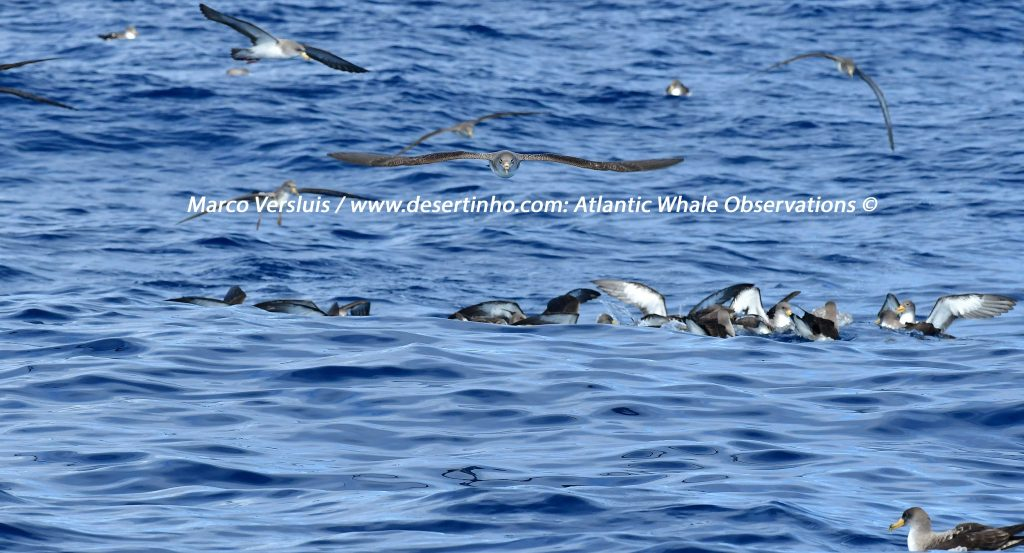 Desertinho Atlantic whale observations: Atlantic Cory's shearwater